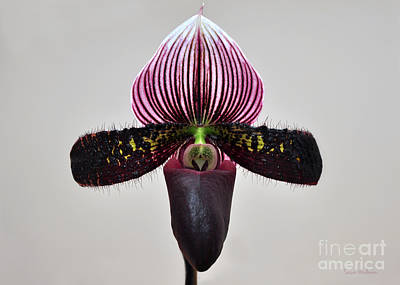 Photograph - Orchid Paphiopedilum Satchel Paige X Black Beauty by Susan Wiedmann