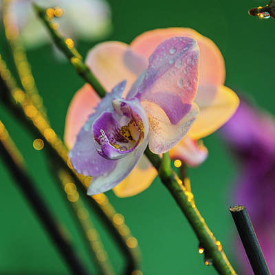 Orchid, Paramaribo, Suriname Print by Keren Su