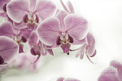 Orchid Pink Vintage Art Print by Hannes Cmarits