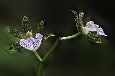 Photograph - Orchid by Ram Vasudev