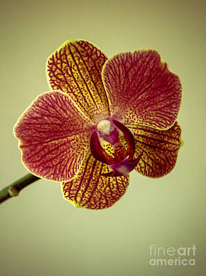 Photograph - Orchid by Robert Bales