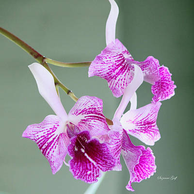 Orchid Series II Art Print by Suzanne Gaff