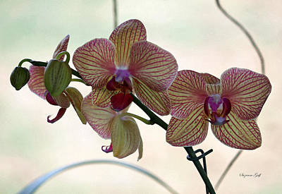 Orchid Series Vi Art Print by Suzanne Gaff