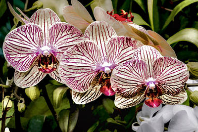Digital Art - Orchid Triplets by Photographic Art by Russel Ray Photos