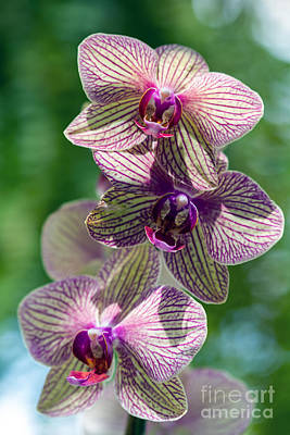 Photograph - Orchid Two by Ken Frischkorn