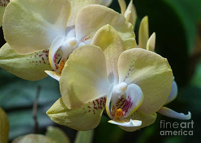 Photograph - Orchids 239 by Rudi Prott
