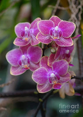 Photograph - Orchids 240 by Rudi Prott