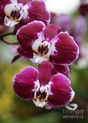Photograph - Orchids 241 by Rudi Prott
