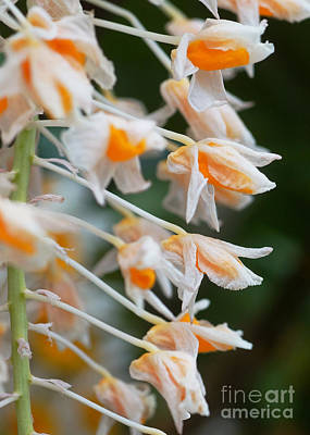 Photograph - Orchids 245 by Rudi Prott