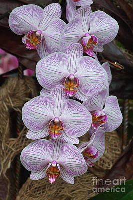 Photograph - Orchids 248 by Rudi Prott