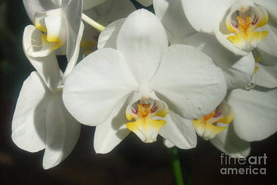 Photograph - Orchids 251 by Rudi Prott