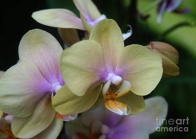 Photograph - Orchids 252 by Rudi Prott