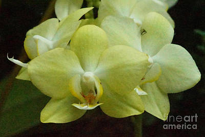 Photograph - Orchids 33 by Rudi Prott