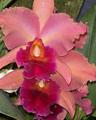 Orchids 4 Art Print