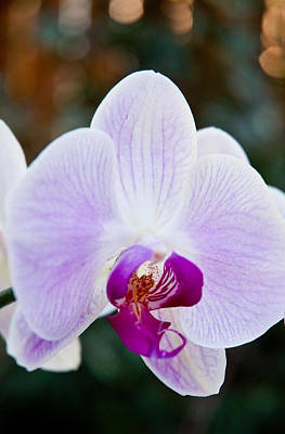 Photograph - Orchids 5 by Jeff Brunton