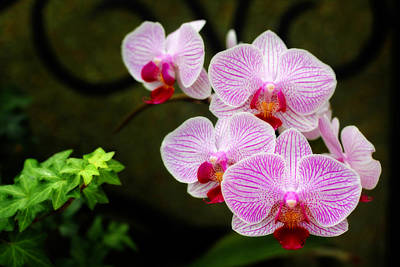 Photograph - Orchids And Ivy by Trina  Ansel