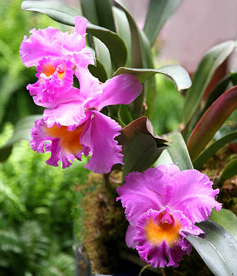 Photograph - Orchids At The Washington Botanical by Carol Kinkead