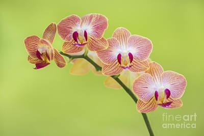 Orchids Art Print by Diane Diederich