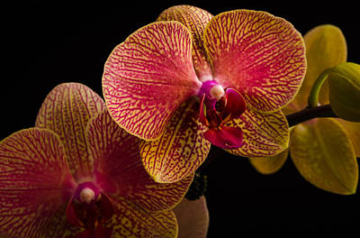 Photograph - Orchids by Frank Mari