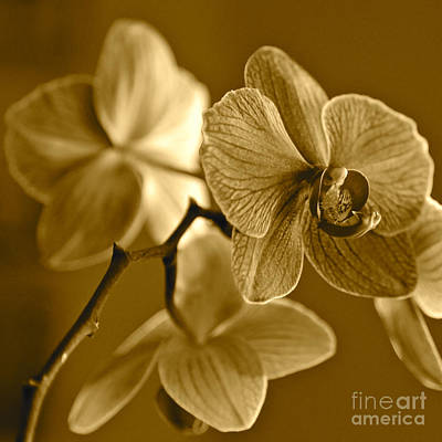 Everett Collection - Orchids in Sepia by Carol Groenen