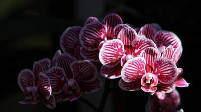 Photograph - Orchids In Sunlight by Michael Saunders