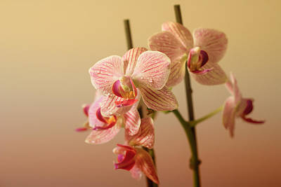 Photograph - Orchids by Javier Luces