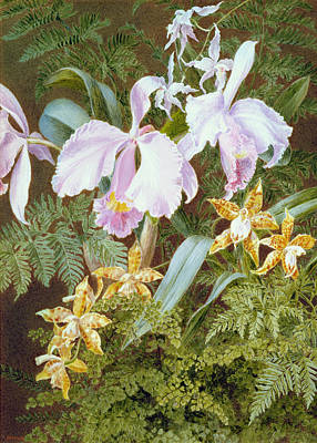 Botanical Drawing - Orchids by Marian Emma Chase
