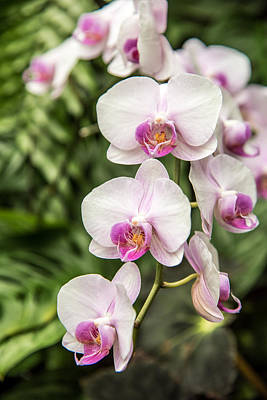 Photograph - Orchids by Norchel Maye Camacho