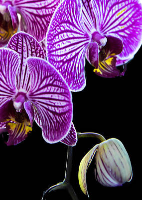 Photograph - Orchids On Black Background by Deb Buchanan