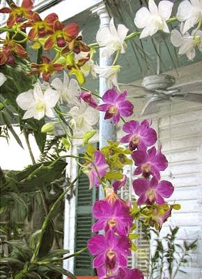 Photograph - Orchids On The Porch by Peggy Hughes