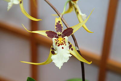 United Photograph - Orchids - Us Botanic Garden - 01132 by DC Photographer