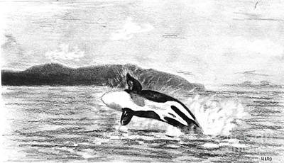 Orca Drawing - Orcinus Orca by Julio Haro