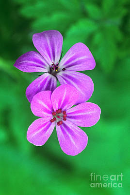 Photograph - Oregon Geraniums In Flower by Dave Welling