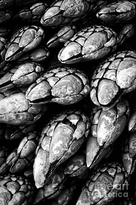 Photograph - Oregon Gooseneck Barnacles by Carrie Cranwill