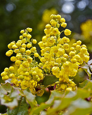 Photograph - Oregon Grape Blossoms by Todd Kreuter