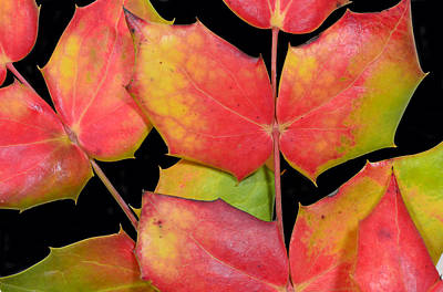 Photograph - Oregon Grape Leaves by Philip Rispin