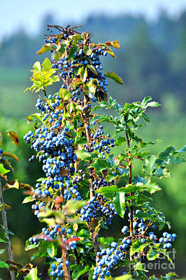 Photograph - Oregon Grape by Mindy Bench