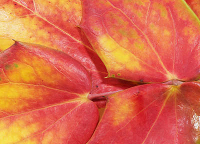 Photograph - Oregon Grape Or Mahonia Aquifolium by Philip Rispin
