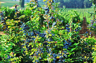 Photograph - Oregon Grapes by Mindy Bench