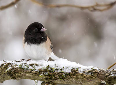 Photograph - Oregon Junco In Snow Getting Cold Feet by Jean Noren