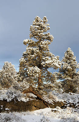 Photograph - Oregon Juniper Trees by Chris Scroggins
