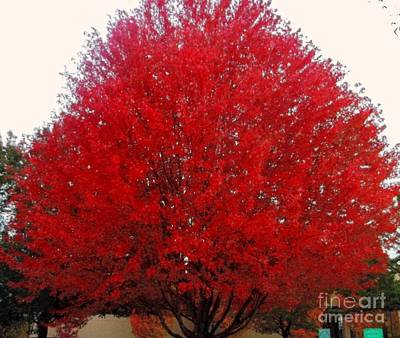 Oregon Red Maple Beauty Art Print by Kim Petitt