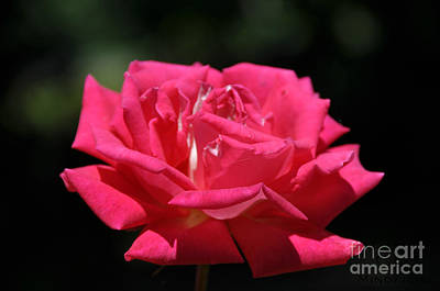Photograph - Oregon Rose by Mindy Bench