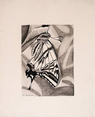 Drawing - Oregon Swallowtail Butterfly  by Teri Schuster