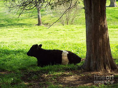 Photograph - Oreo Cow by Audrey Van Tassell