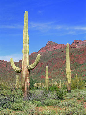 Organ Pipes Photograph - Organ Pipe Cacti In Desert by Simon Fraser/science Photo Library