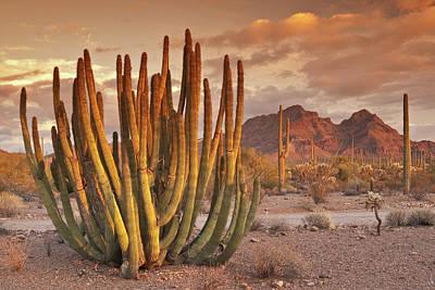 Organ Pipe Cactus And Saguaros At Ajo Art Print
