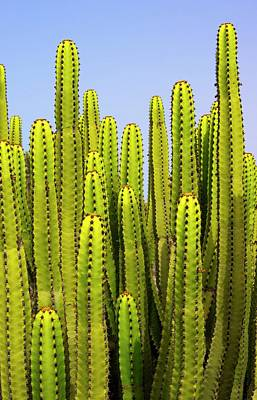 Organ Pipes Photograph - Organ Pipe Cactus In Gran Canaria. by Mark Williamson/science Photo Library