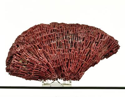 Anthozoa Photograph - Organ Pipe Coral Specimen by Ucl, Grant Museum Of Zoology