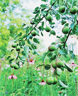 Organic Fruits Hanging On Branch Art Print by Scott Frances